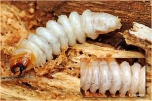 Larve de cerambycidae (Rhagium)